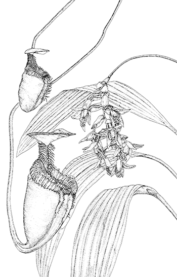 nepenthes villosa & coelogyne papillosa
