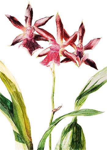 zygopetalum hybrid